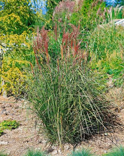 Miscanthus Rouge