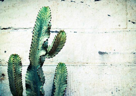 Cactus recommandés pour l'extérieur
